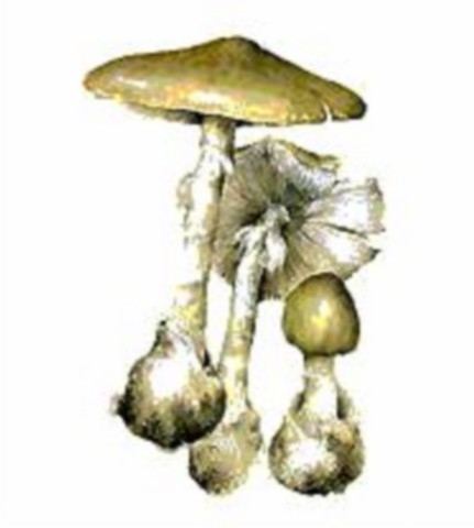 Доклад про гриб бледная поганка 1