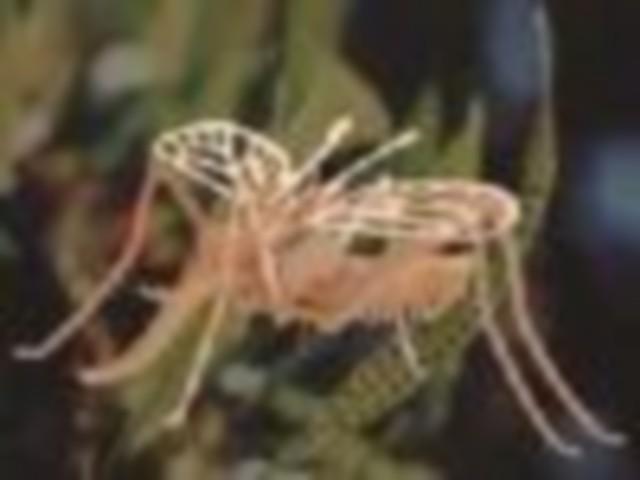 Москит песчаный фото
